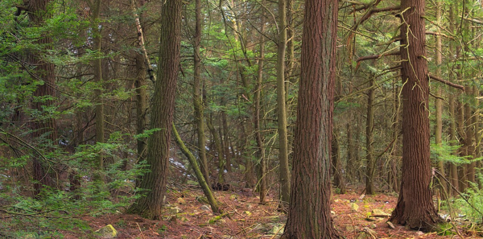 Old-growth hemlocks (with scattered hardwoods), Bald Eagle State Forest, Clinton County, on Riansares Mountain.